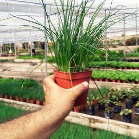 PLANTA DE CEBOLLINO Allium schoenoprasum X 8 Ud