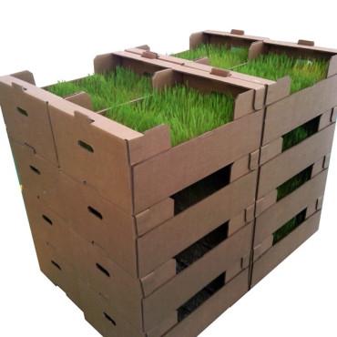 PLANTACONTROL Rhopalosiphum padi sobre trigo