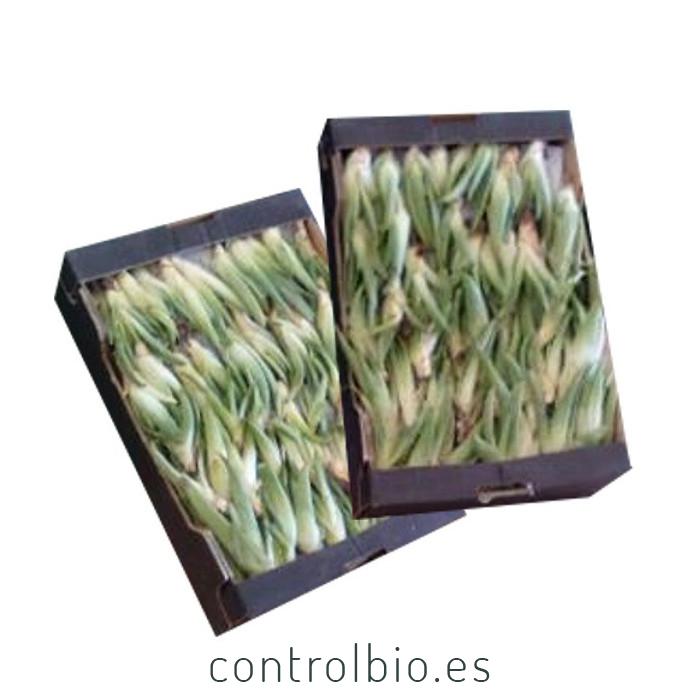 ALOE VERA BARBADENSIS hijuelos 10-15 caja de 300 Ud