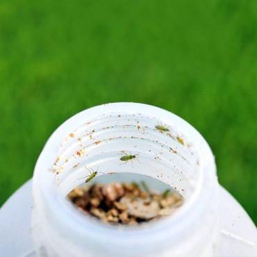 NESIDIOCONTROL 500 Nesidiocoris contra mosca blanca y tuta en tomate