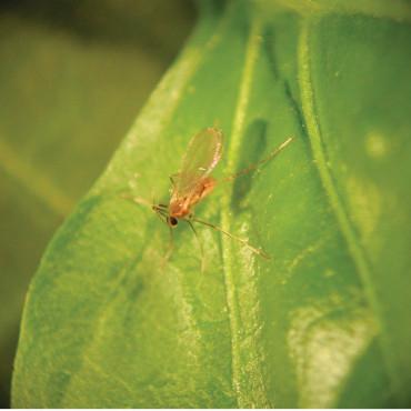 FELTIELLA SYSTEM 250 depredador de araña roja
