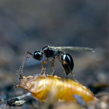 Trichopria drosophilae parasitoide de Drosophila suzukii