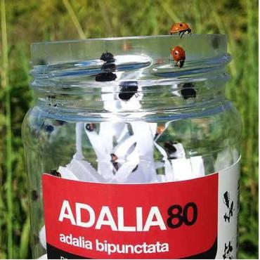 ADALIA 80 adultos de Adalia bipunctata