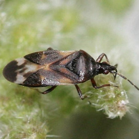 ANTHOLINE Anthocoris nemoralis contra Psyla