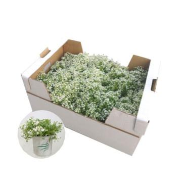 LOBULARIA con ORIUS planta refugio de chinches anthocóridas