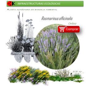 ROSMARINUS OFFICINALIS (romero) BF X 60 Ud
