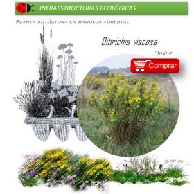 MOSQUERA (Ditrichia viscosa) refugio de míridos BF X 54 Ud