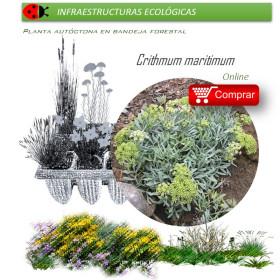 comprar Crithmum maritimum perejil de mar