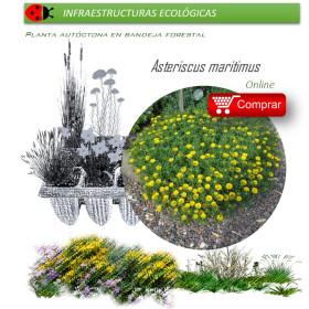 Comprar asteriscus maritimus