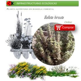 BALLOTA HIRSUTA marrubio BF X 40 Ud