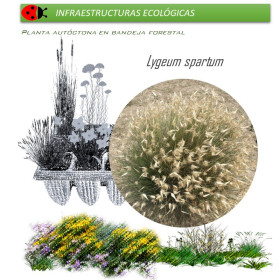 LYGEUM SPARTUM albardín BF x 45 Ud