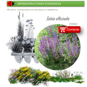 SALVIA OFFICINALIS BF x 45 Ud
