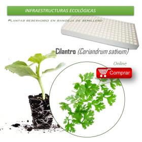 CILANTRO en bandeja de semillero X70 Ud