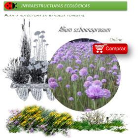 ALLIUM SCHOENOPRASUM (Cebollino) BF 40/260