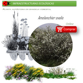 AMELANCHIER OVALIS (Guillomo) BF40/260