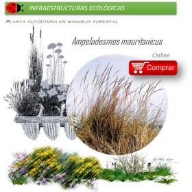 AMPELODESMOS MAURITANICUS (Carrizo) BF 40/260