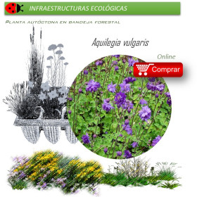 AQUILEGIA VULGARIS (Aguileña) BF 40/260