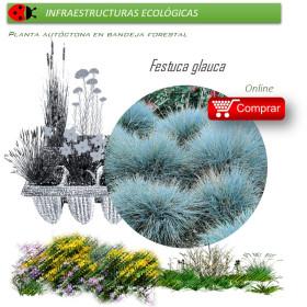 FESTUCA GLAUCA (Castañuela azul) BF 40/260