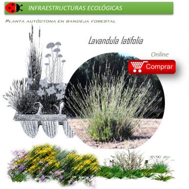 LAVANDULA LATIFOLIA (Alhucema) BF 40/260