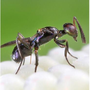 ALY250 Anastatus bifasciatus enemigo natural de chinches pestosas