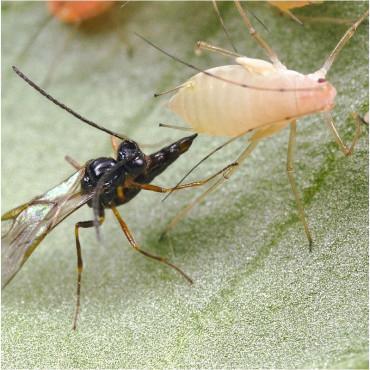 ERVIPAK 250 Aphidius ervi parasitoide de pulgones grandes