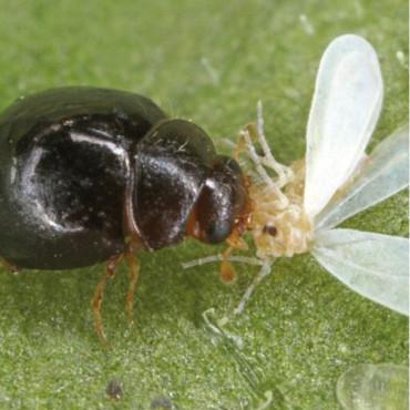 DELPHASTUS 250 contra mosca blanca
