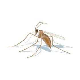 mizapak1000 Aphidoletes aphidimyza depredador de pulgón