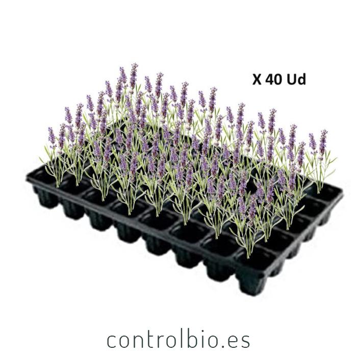 Planta en bandeja de viverista x54 Ud
