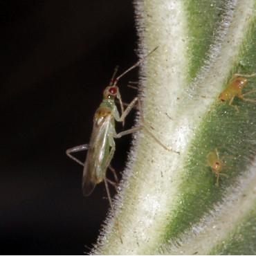 NESIBUG 500 Nesidiocoris contra Tuta absoluta y mosca blanca