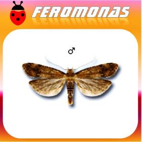 PECTINOPHORA MALAVELLA