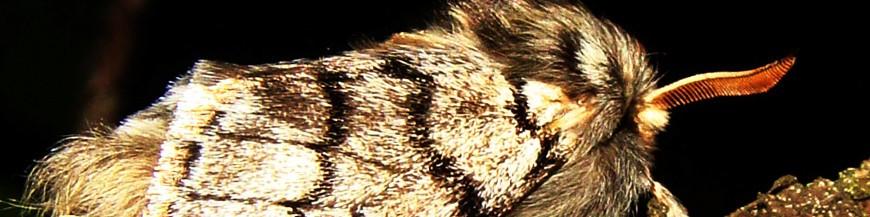 Thaumetopoea (Procesionaria del pino)