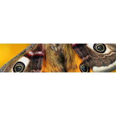 Lepidópteros (Polillas)