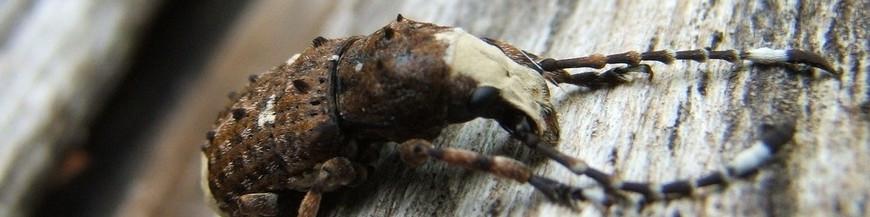 COLEÒPTEROS (escarabajos, picudos, barrenillos)