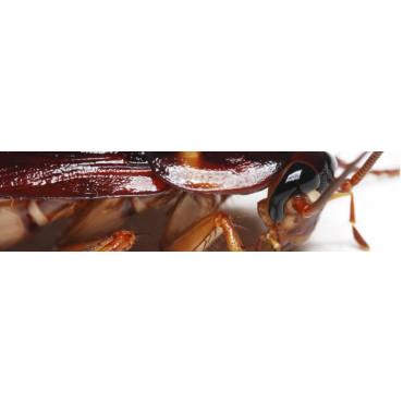 DICTIÓPTEROS (Cucarachas)