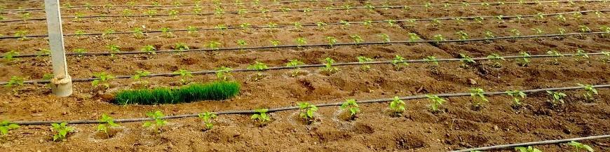 Plantas banco (Banker plants)