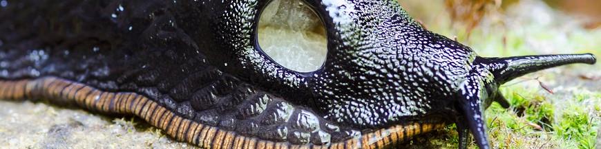 Moluscos (Caracoles y babosas)