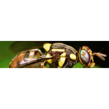 Bractocera oleae (mosca del olivo)