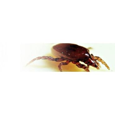 Macrocheles robustulus ácaro depredador de suelo