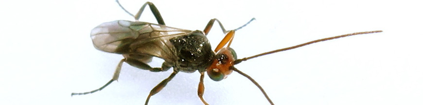 INSECTOS PARASITOIDES