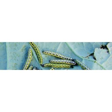 Orugas (larvas de lepidópteros)