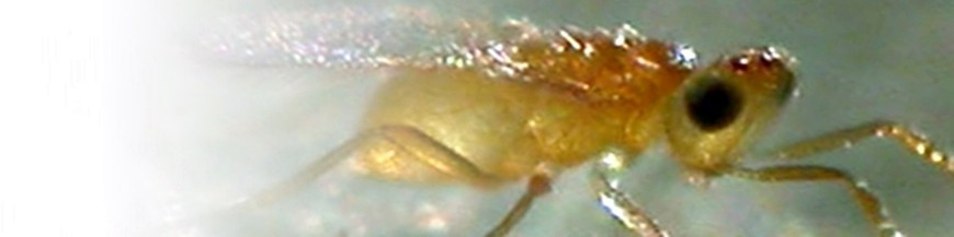 Eretmocerus mundus
