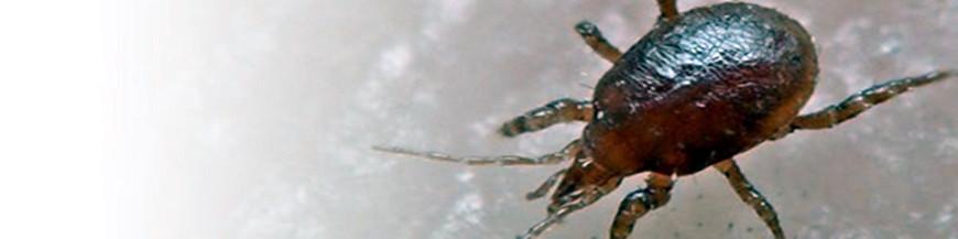 Hypoaspis aculerifer