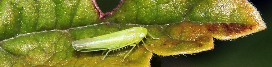 Mosquito verde (Empoasca)