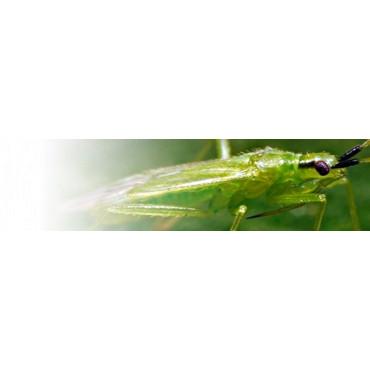 Macrolophus caliginosus