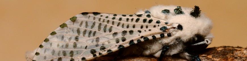 Zeucera pyrina