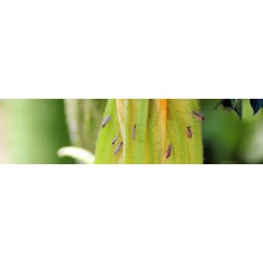 Nesidiocoris tenuis