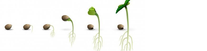PLANTA AUXILIAR (semilla)
