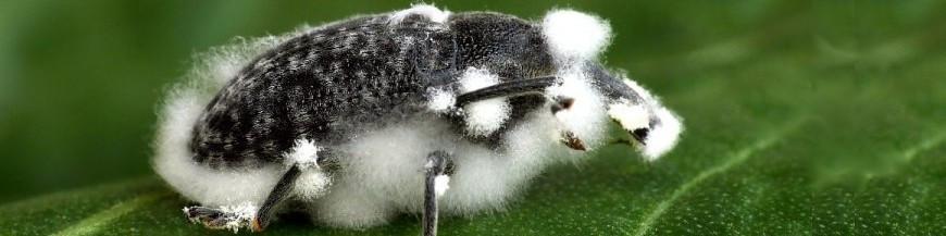 Paecilomyces fumosoroseus