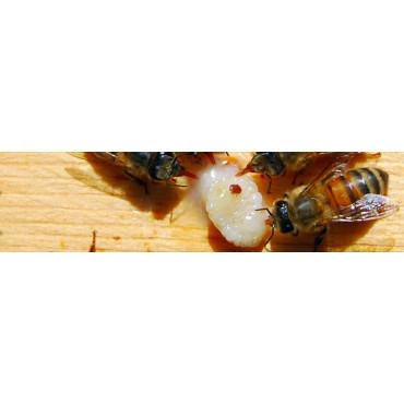 Varroa destructor (Ácaro de las abejas)