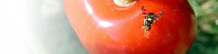 Mosca de la cereza (Rhagoletis)